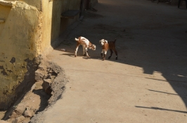 deux-chevres-qui-se-promenent-marche-vers-le-fort-de-taragarh-ajmer-inde